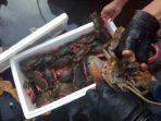 kepiting bertelur